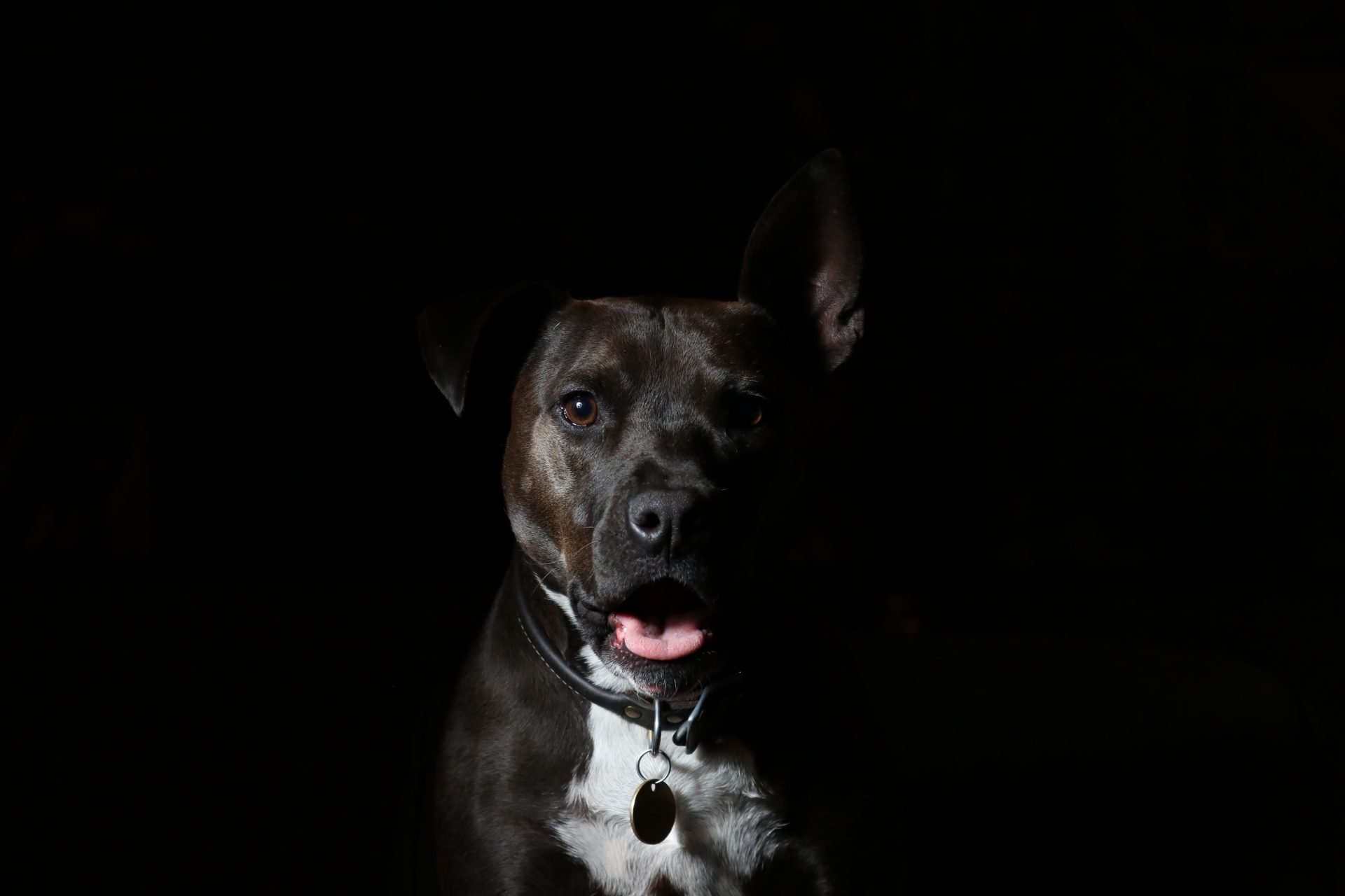 Pit bull in the shadows