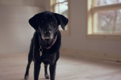 Black dog in a room