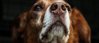 Closeup of dog face and nose