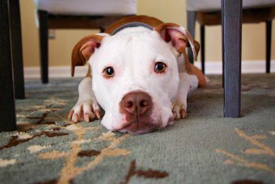Pitbull laying on rug